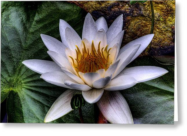 Water Lily Greeting Card by David Patterson