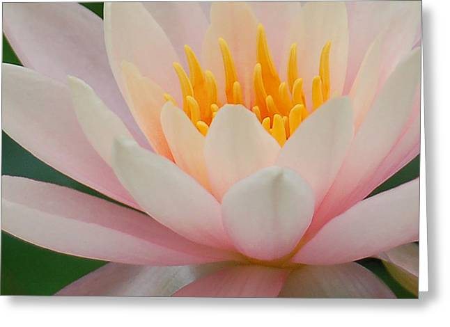 Water Lily II - Close Up Greeting Card