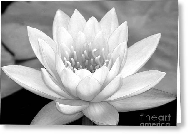 Water Lily In Black And White Greeting Card by Sabrina L Ryan