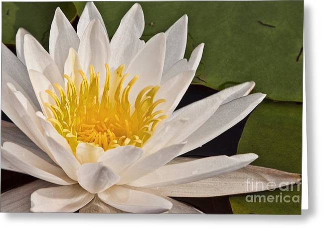 Water Lily Greeting Card by K Hines