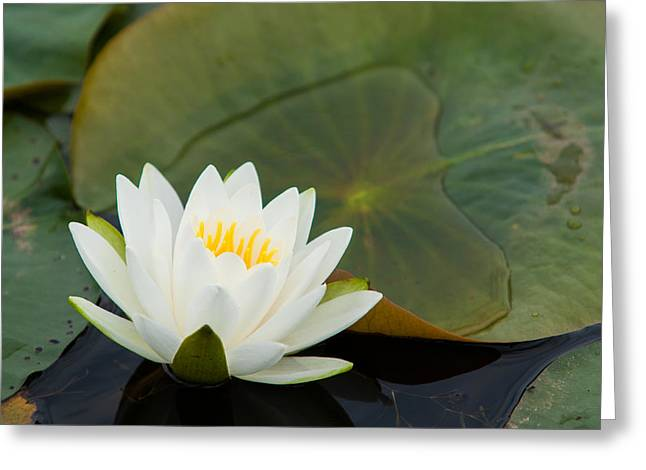 Water Lily Greeting Card by Matt Dobson