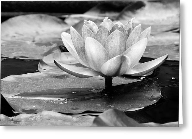 Greeting Card featuring the photograph Water Lily by Michelle Joseph-Long