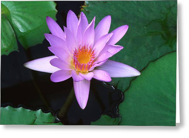 Water Lily Greeting Card by Nigel Downer