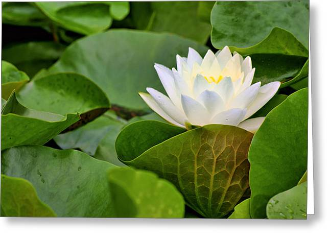 Water Lily Greeting Card by Nikolyn McDonald