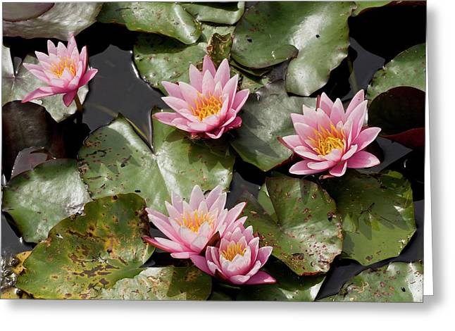 Water Lily (nymphaea 'pink Sensation') Greeting Card