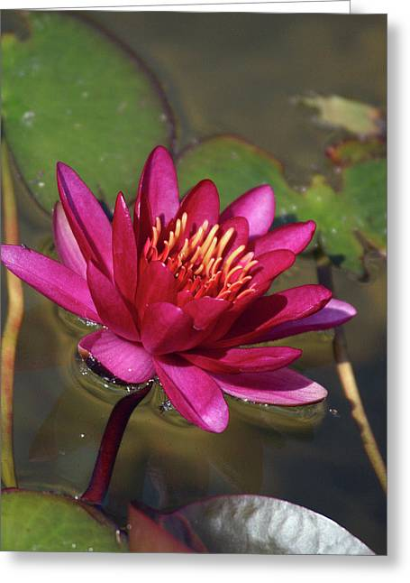 Water Lily Pond Greeting Card by Anna Miller