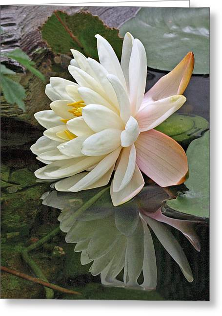 Water Lily Reflections Greeting Card