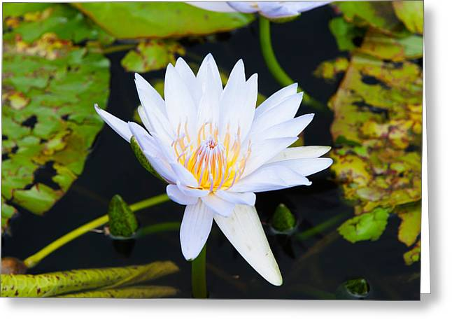 Water Lily With Lily Pads In A Pond Greeting Card by Panoramic Images