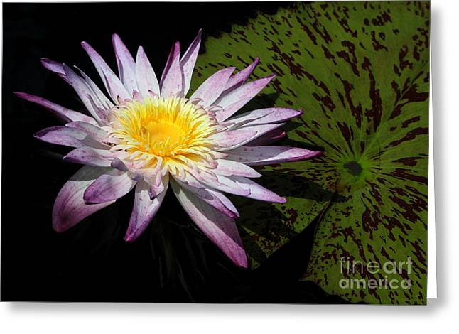 Water Lily With Lots Of Petals Greeting Card by Sabrina L Ryan