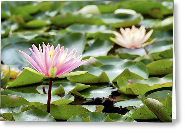 Water Lily Greeting Card by Wladimir Bulgar