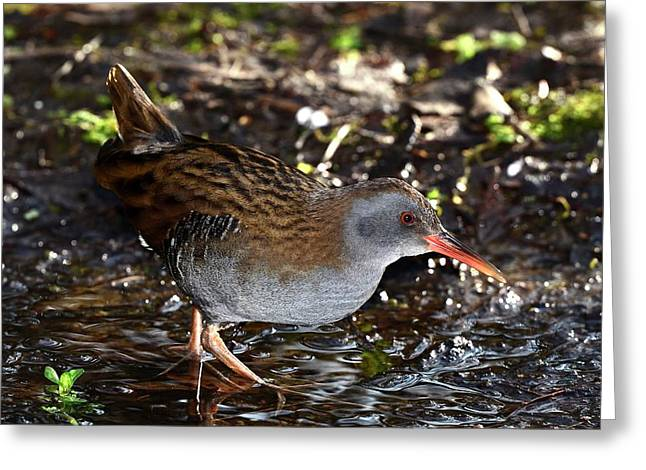 Water Rail Greeting Card by Colin Varndell