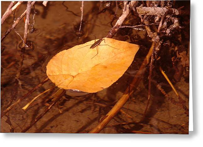 Water Strider On A  Leaf Greeting Card by Jeff Swan