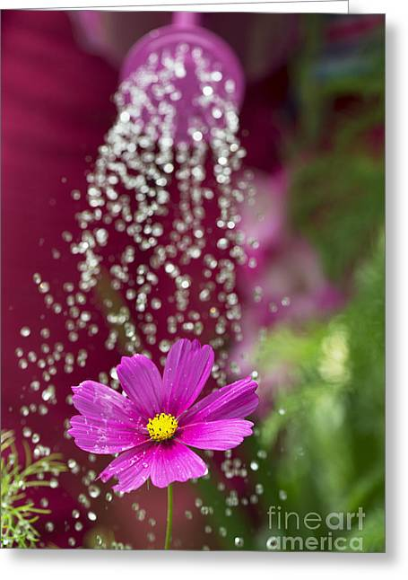 Watering The Cosmos Greeting Card by Tim Gainey