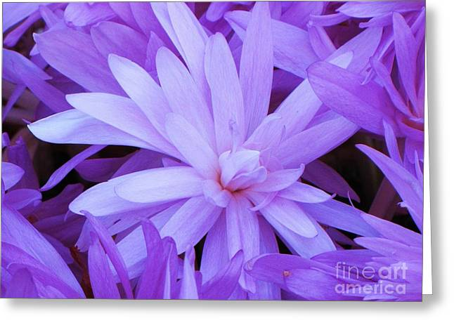 Waterlily Crocus Greeting Card