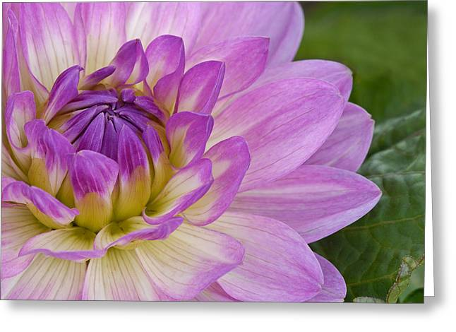 Waterlily Dahlia Greeting Card