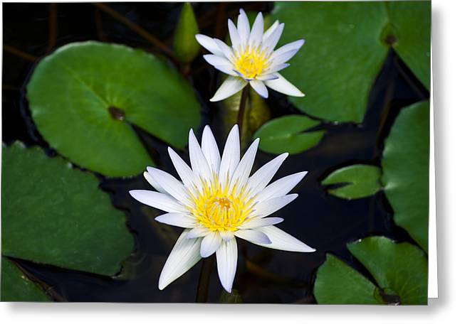 Waterlily Two Greeting Card by Christi Kraft