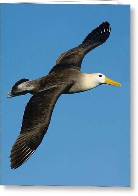 Waved Albatross Diomedea Irrorata Greeting Card by Panoramic Images