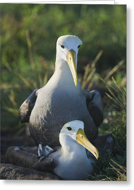 Waved Albatross Mate In Galapagos Greeting Card by Richard Berry