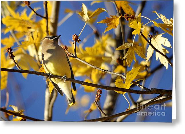 Waxwing Beauty Greeting Card