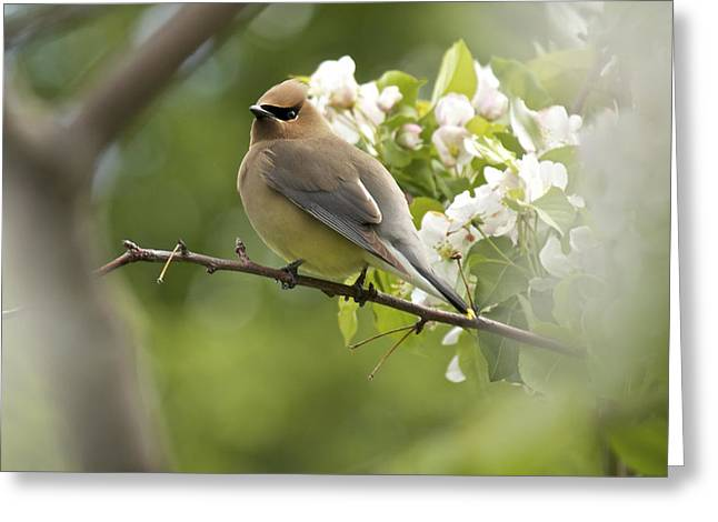 Waxwing In A Dream Greeting Card