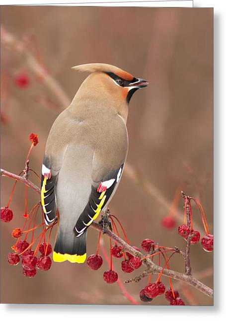 Waxwing In Winter Greeting Card