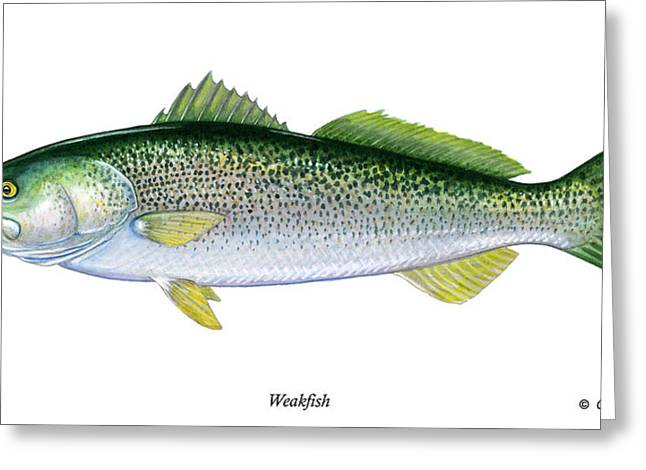 Weakfish Greeting Card by Charles Harden