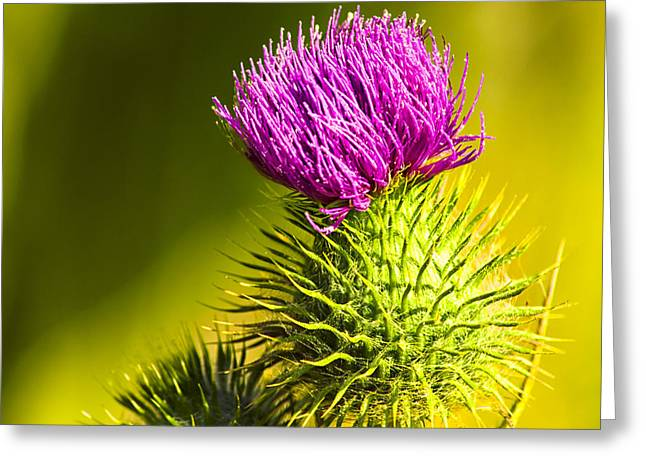 Wearing A Purple Crown - Bull Thistle Greeting Card by Mark E Tisdale