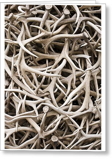 Weathered Elk Antlers Greeting Card