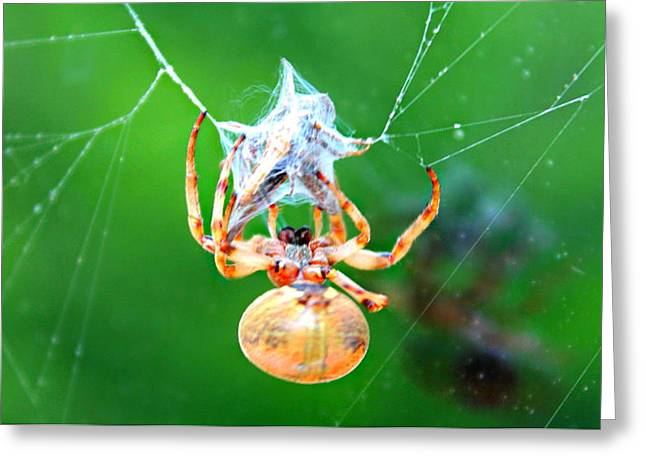 Weaving Orb Spider Greeting Card by Candice Trimble