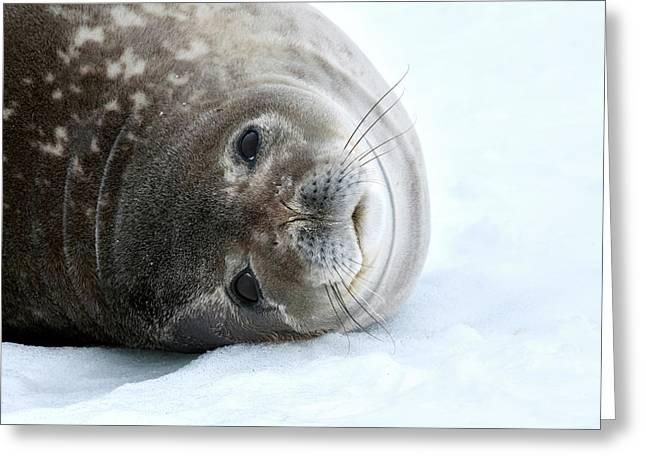 Weddell Seal Greeting Card