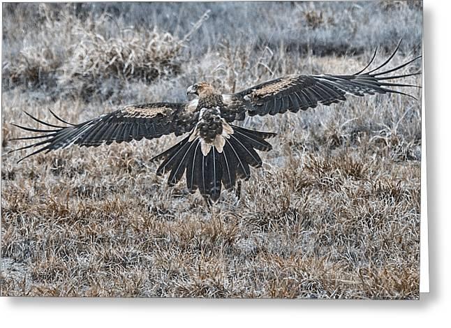 Wedge-tail Eagle V7 Greeting Card by Douglas Barnard