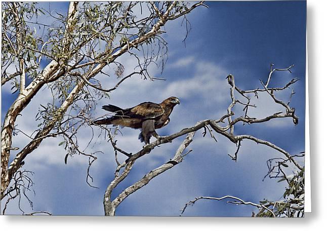 Wedge Tailed Eagle Greeting Card by Douglas Barnard