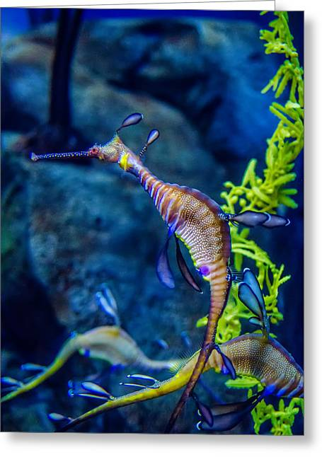 Weedy Seadragon Greeting Card