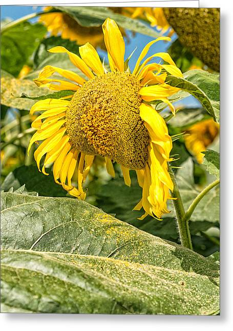 Weeping Sunflower Greeting Card
