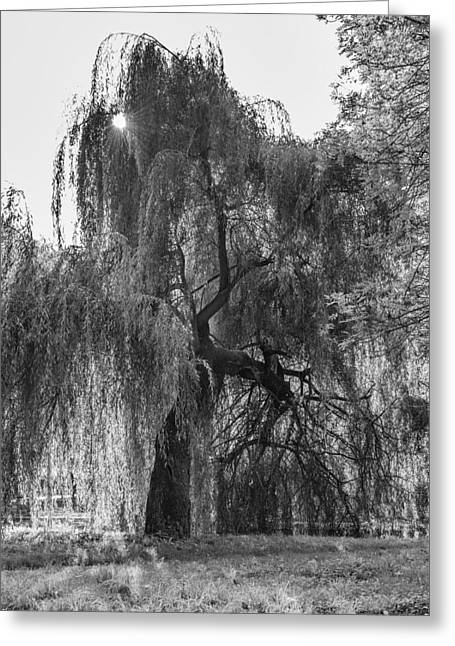 Weeping Willow Greeting Card by Thomas Schreiter