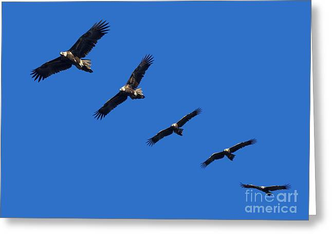 Wege-tail Eagle Montage Greeting Card