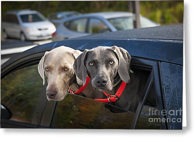 Weimaraner Dogs In Car Greeting Card