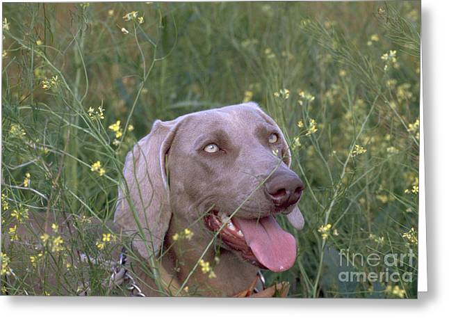 Weimaraner Female 1 Year Old Greeting Card by William H. Mullins