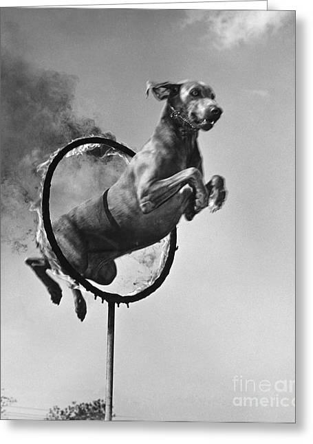 Weimaraner Jumping Through A Ring Greeting Card
