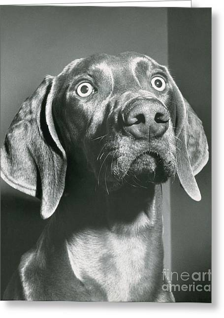 Weimaraner Greeting Card by ME Browning