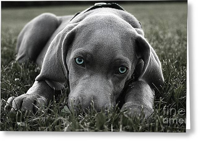 Weimaraner  Greeting Card by Marvin Blaine