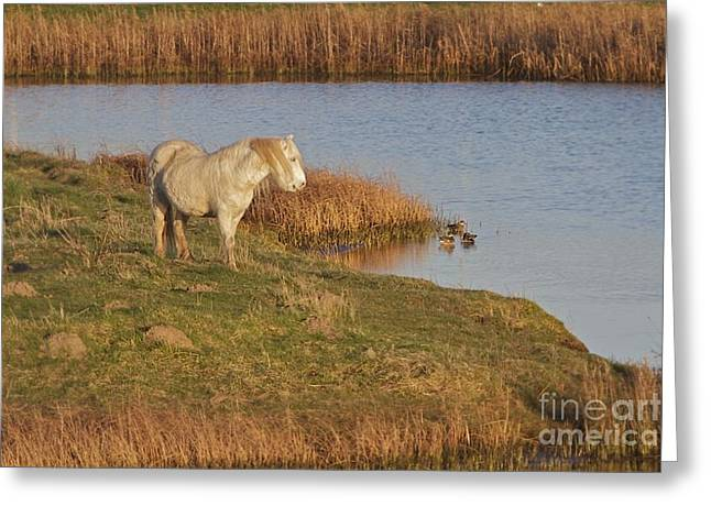 Greeting Card featuring the photograph Welsh Pony  by Gary Bridger