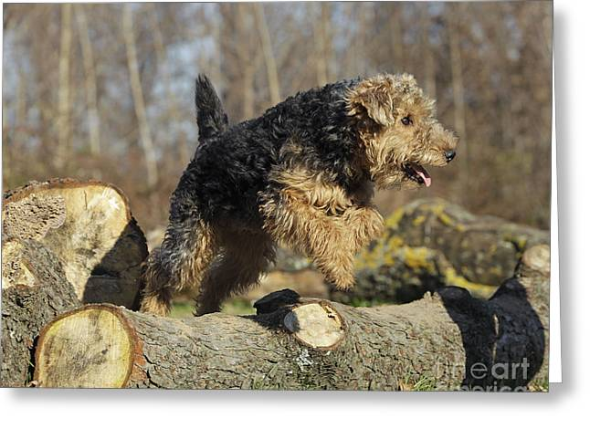 Welsh Terrier Jumping Greeting Card