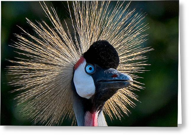West African Crowned Crane Greeting Card