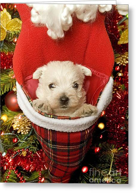 West Highland Terrier At Christmas Greeting Card by Jean-Michel Labat