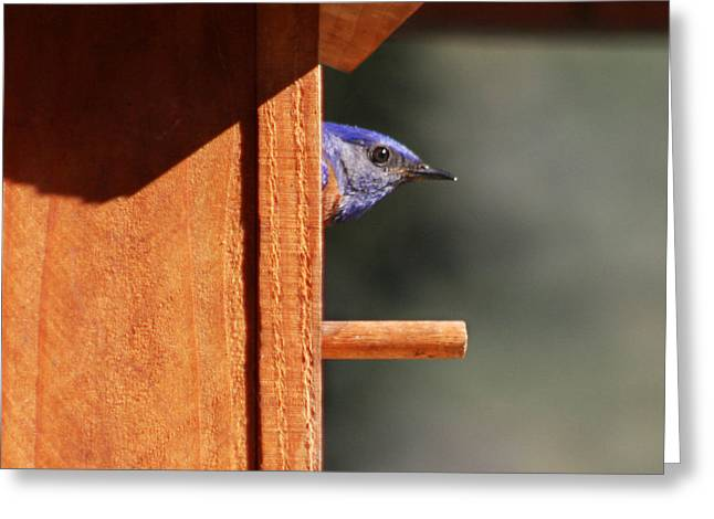 Greeting Card featuring the photograph Western Bluebird At Nest by Bob and Jan Shriner