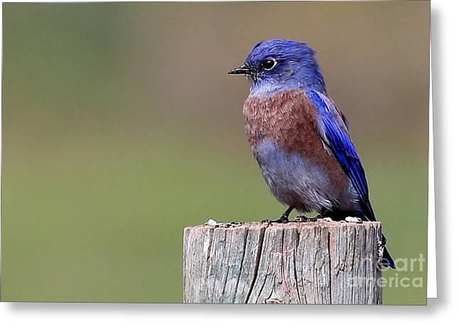 Western Bluebird Greeting Card