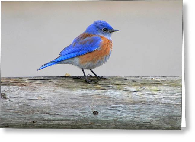 Greeting Card featuring the photograph Western Bluebird Perching by Bob and Jan Shriner