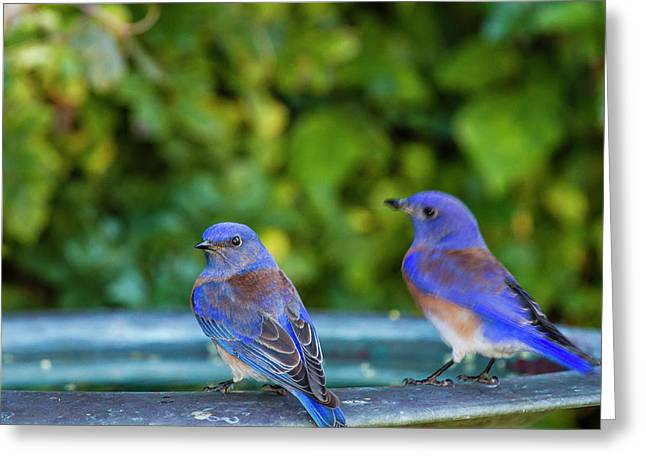 Western Bluebird (sialia Mexicana Greeting Card by Michael Qualls