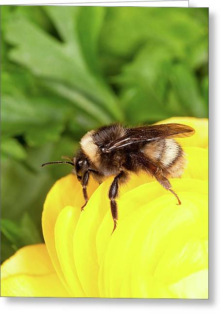 Western Bumble Bee Greeting Card by Stephen Ausmus/us Department Of Agriculture